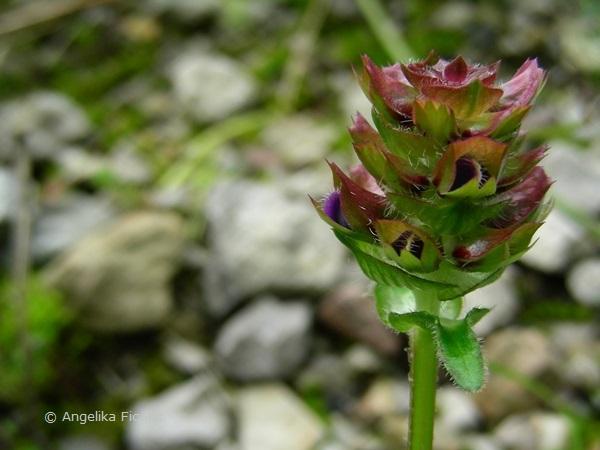 Prunella grandiflora - Großblütige Braunelle  © Mag. Angelika Ficenc