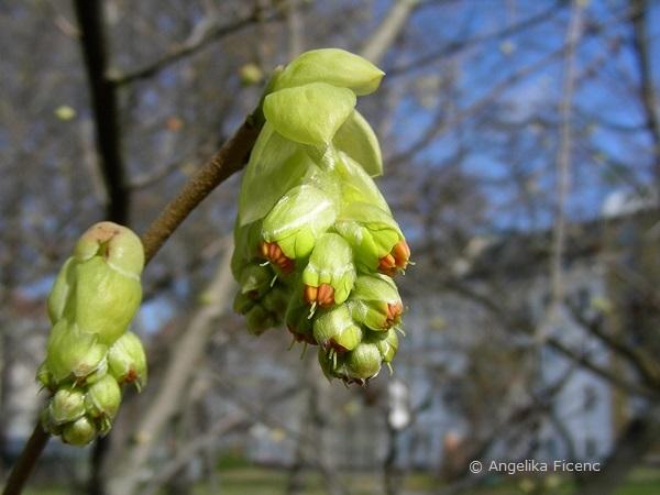 Corylopsis sp. - Scheinhasel, Blütenknospen