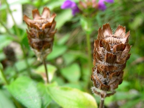 Prunella grandiflora - Großblütige Braunelle