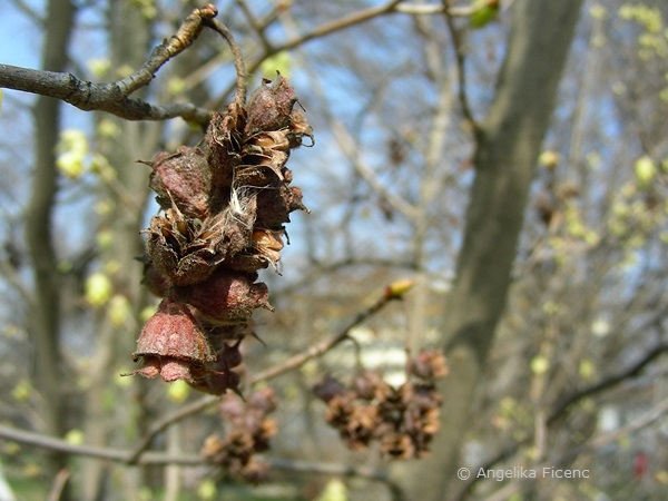 Corylopsis sp. - Scheinhasel, Fruchtstand