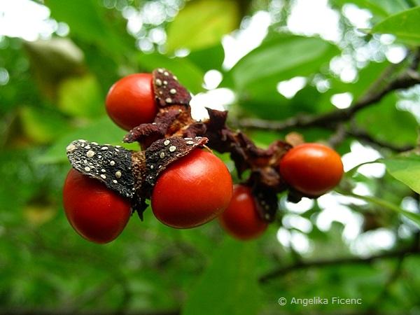Magnolia cf. kobus - Kobushi Magnolie, reife Samen  © Mag. Angelika Ficenc
