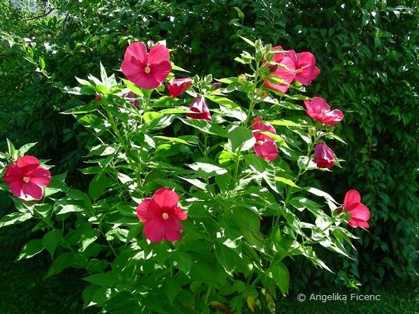 Hibiscus moscheutus - Sumpfstraucheibisch  © Mag. Angelika Ficenc