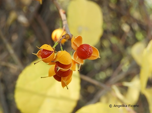 Celastrus orbiculatus var. orbiculatus,   © Mag. Angelika Ficenc
