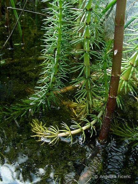 Hippuris vulgaris - Tannenwedel