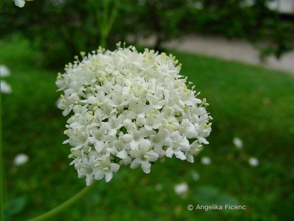 Valeriana aniariifloria - Kaukasus Baldrian  © Mag. Angelika Ficenc