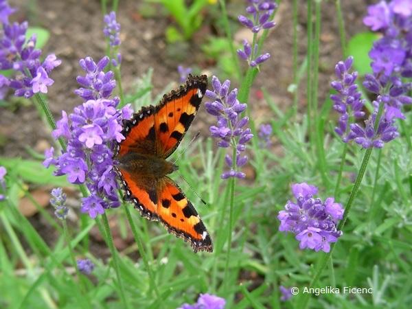 Kleiner Fuchs an Lavendel