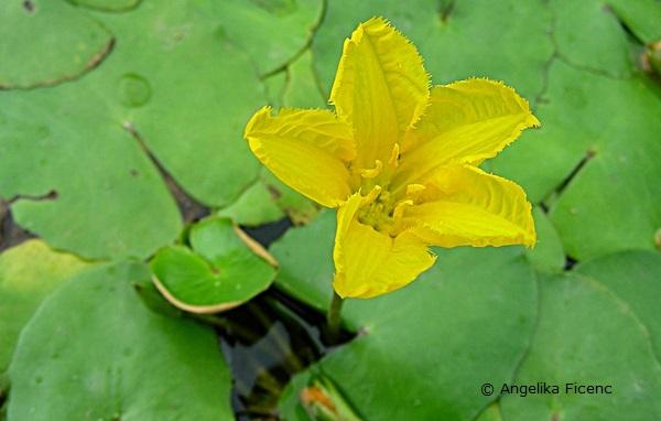 ymphoides peltata - Heimische Seekanne