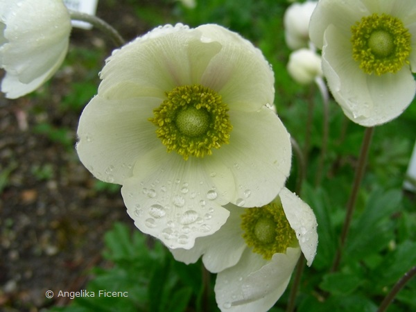Anemone sylvestris - Großes Windröschen, Blüte
