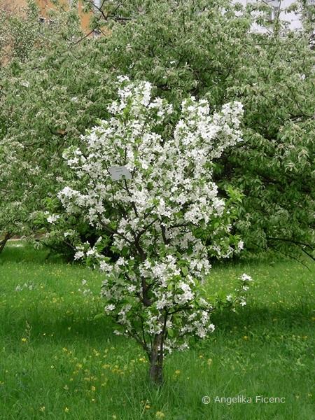 Malus sp. weiß - Apfel  © Mag. Angelika Ficenc