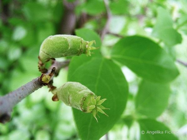 Chimonanthus praecox - Winterblüte, unreife Früchte