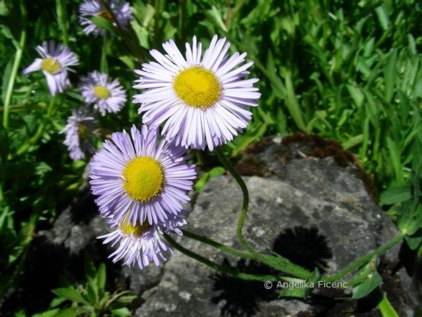 Erigeron glabellus - Glattes Berufkraut