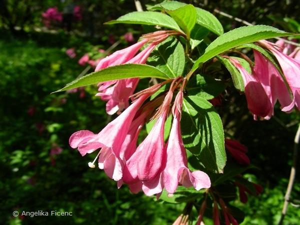 Weigela praecox - Frühblühende Weigelie, Blüten