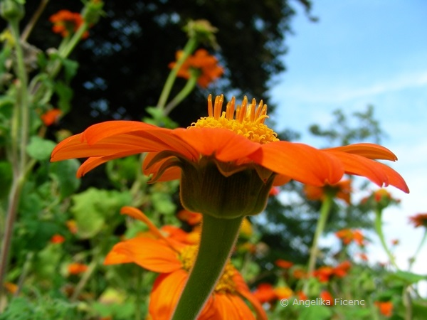 Tithonia rotundifolia  © Mag. Angelika Ficenc