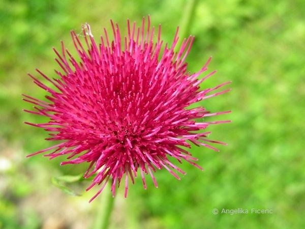 """Cirsium rivulare """"Atropurpureum"""" - Bachkratzdistel, Blüte in Aufsicht"""