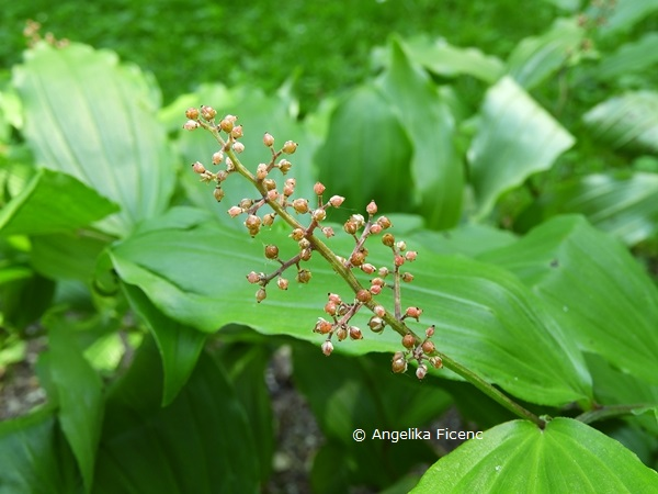 Maianthemum racemosum     © Mag. Angelika Ficenc