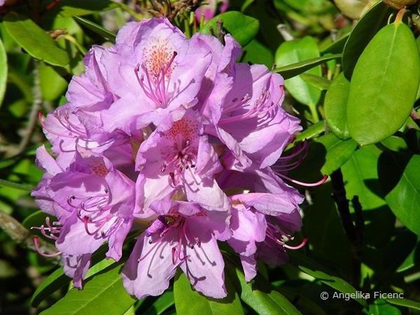 Rhododendron, Blütenstand