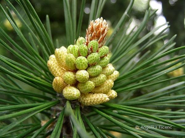 Pinus mugo - Berg Kiefer,  männliche Blüten