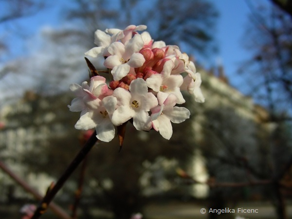 Viburnum farreri, Blütenstand
