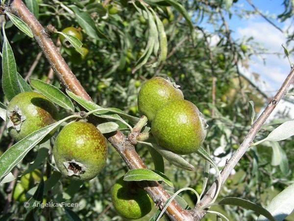 Pyrus salicifolia - Weidenbirne, unreife Früchte