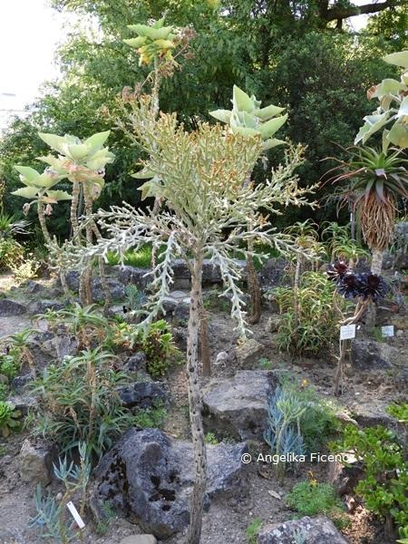 Euphorbia hamata © Mag. Angelika Ficenc
