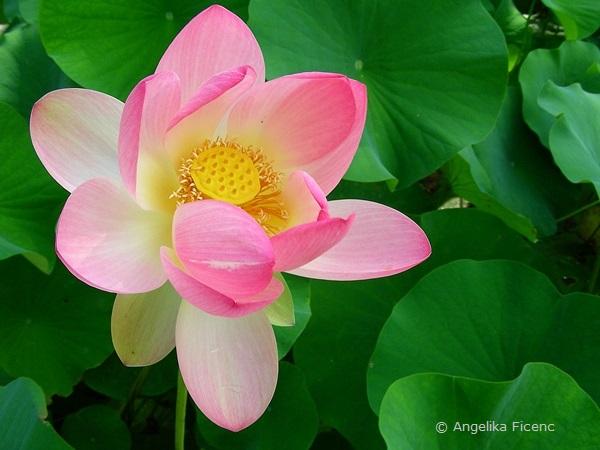 Nelumbo nucifera - Indische Lotusblume, offene Blüte