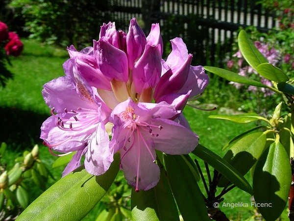 Rhododendron, aufgehende Blüten