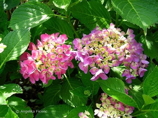 Bauern-Hortensie, erste Blüten