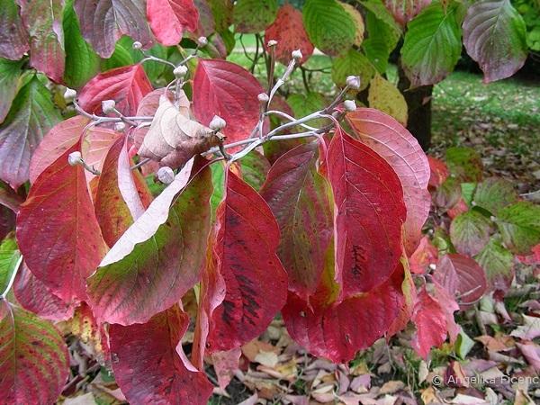 "Cornus florida ""Alba"", Laubblätter im Herbst"