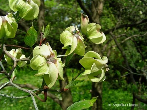 """Cornus florida """"Alba"""", Hochblätter"""