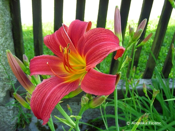 Rote Taglilie, Einzelblüte