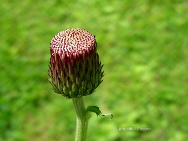 """Cirsium rivulare """"Atropurpureum"""" - Bachkratzdistel, Knospe mit erkennbaren Zungenblüten"""