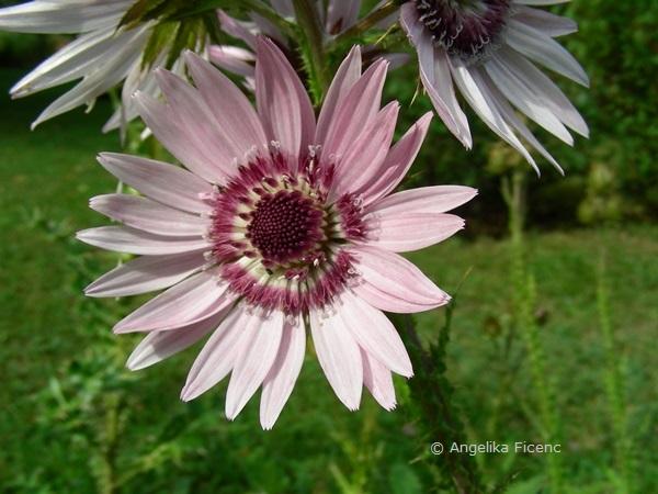 Berkheya purpurea, Blüte