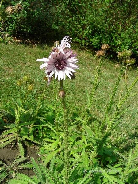 Berkheya purpurea, Habitus