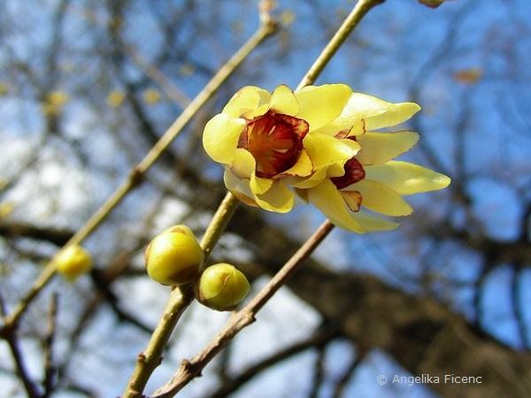 Chimonanthus praecox - Winterblüte