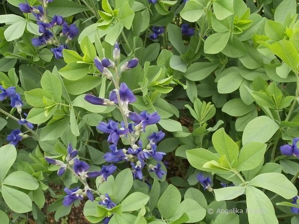 Baptisia australis - Blaue Färberhülse, Habitusr  © Mag. Angelika Ficenc