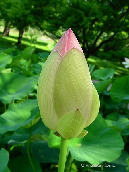 Nelumbo nucifera - Indische Lotusblume, Blütenknospe