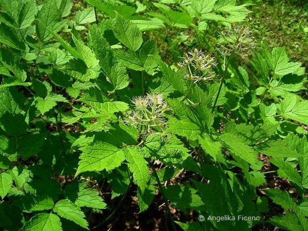 Actaea asiatica - Christofskraut