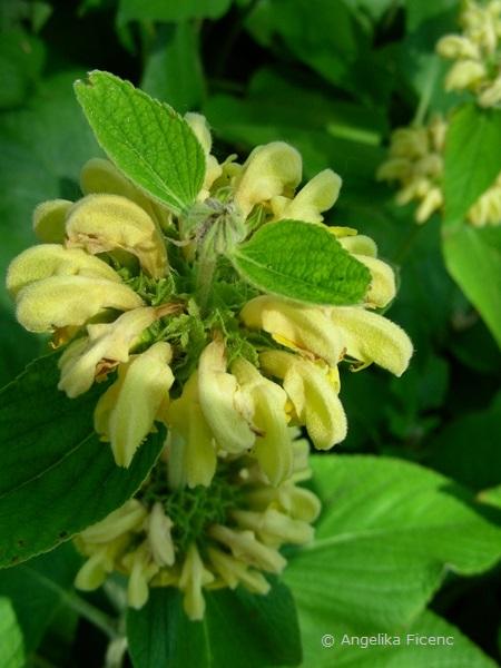 Phlomis russeliana, Blütenstand