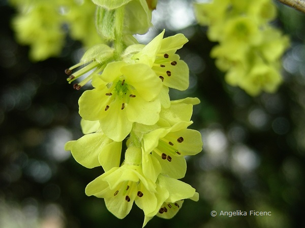 Corylopsis sp. - Scheinhasel, Blütenstand, Vollblüte