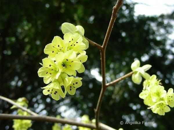 Corylopsis sp. - Scheinhasel, Blütenstand