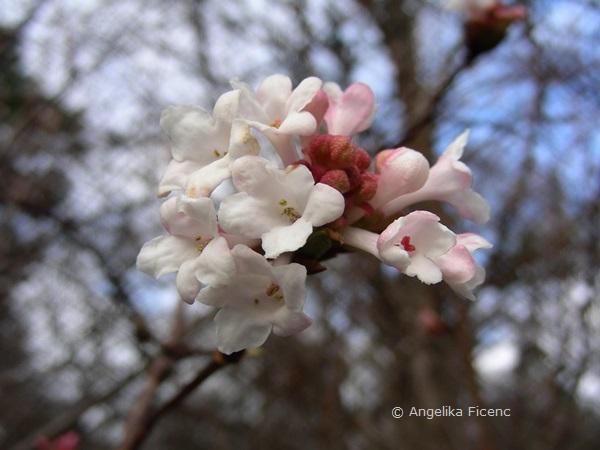 Viburnum farreri, Blütenstand  © Mag. Angelika Ficenc