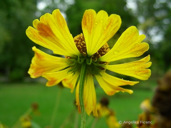 Helenium autumnale - Gewöhnliche Sonnenbraut