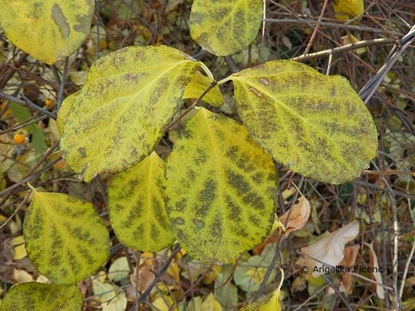 Celastrus orbiculatus var. orbiculatus, Rundblättriger Baumwürger, Fam. Celastraceae, Blätter