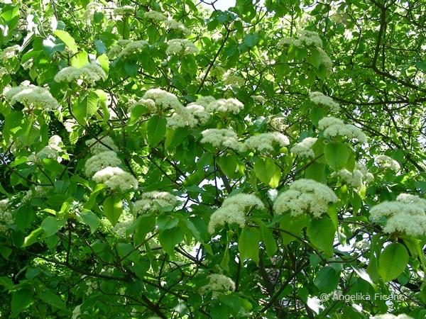 Viburnum lentago - Kanadischer Schneeball, Habitus