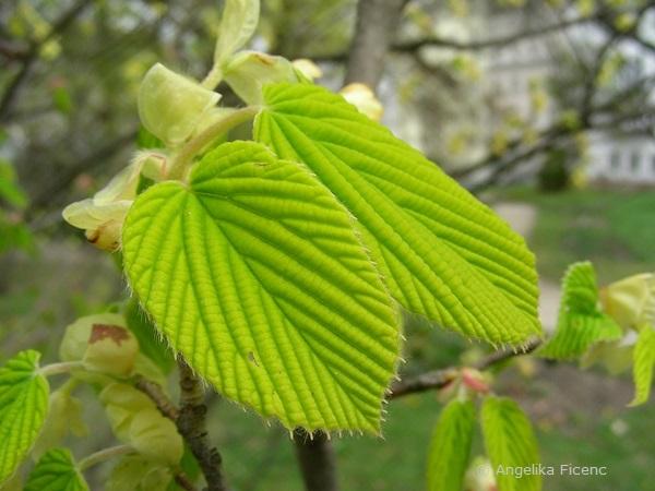 Corylopsis sp. - Scheinhasel, Laubblätter