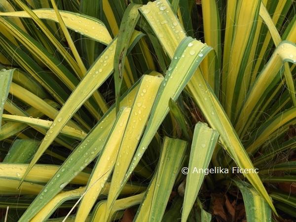 """Yucca flaccida """"Golden Sword""""  © Mag. Angelika Ficenc"""