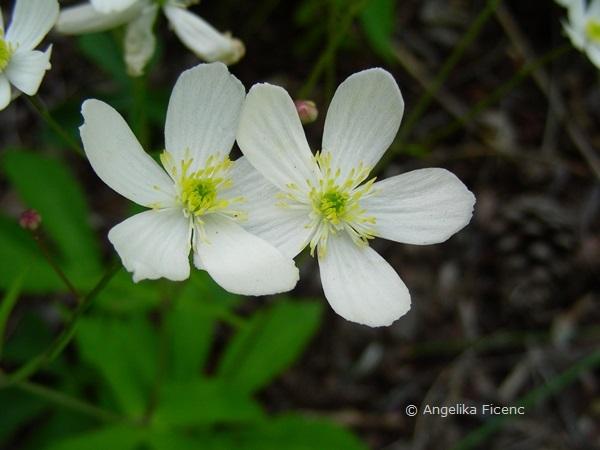 Ranunculus platanifolius - Platanen Hahnenfuß