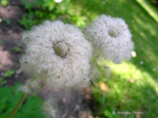 Anemone sylvestris - Großes Windröschen, Fruchtstand