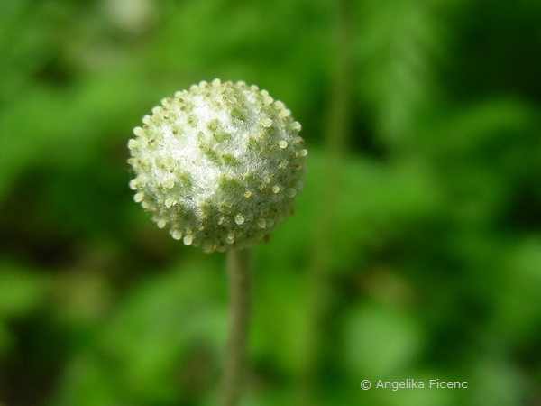 Anemone sylvestris - Großes Windröschen, unreifer Fruchtstand