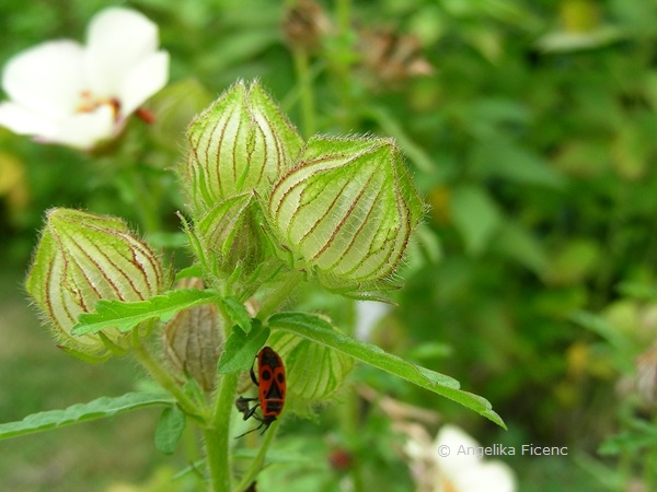 Hibiscus trionum, unreife Früchte